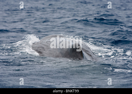 Sperm whale Cachalote Pottwal Physeter macrocephalus Pico Azores Portugal - Stock Photo