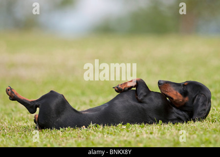 Short-haired dachshund dog lying back - Stock Photo