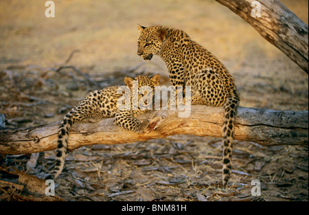 two young leopards on branch / - Stock Photo