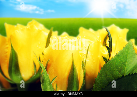 Closeup on field of yellow roses - Stock Photo