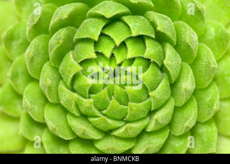 close up of green succulent plant - Stock Photo
