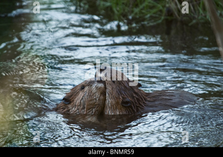 Two beavers playing in their beaver pond. - Stock Photo