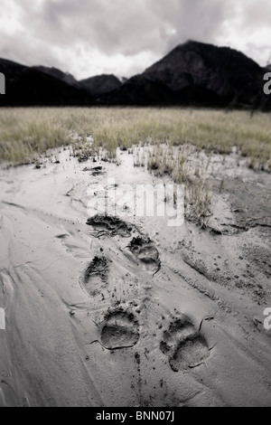 Brown bear tracks lead through a deposit of glacial silt in the Slims River valley, Kluane National Park, Yukon, - Stock Photo