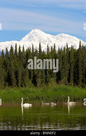 Pair of Trumpeter swans with cygnets on Byers lake with Denali in the background Summer Alaska - Stock Photo