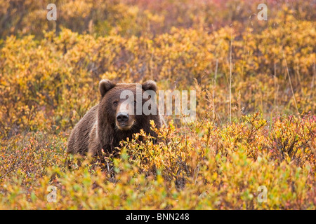 Portrait of an adult brown bear amongst the fall foliage in Denali National Park, Alaska, Autumn - Stock Photo