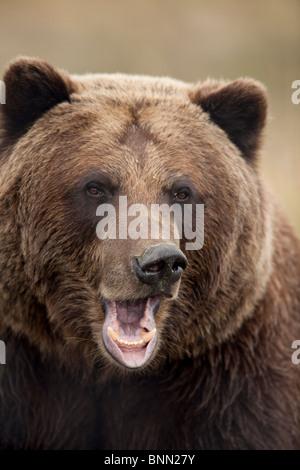 CAPTIVE: Close up of a snarling grizzly bear at the Alaska Wildlife Conservation Center, Alaska - Stock Photo