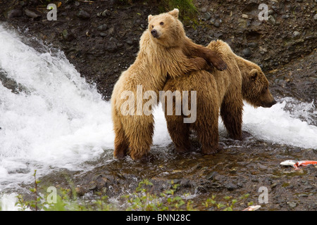 Coastal sow and cub brown bears salmon fishing at Mikfik Creek, McNeil State Game Sanctuary, Alaska - Stock Photo