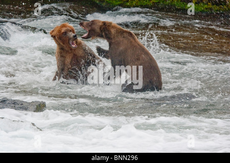 Two adult brown bears fight over a fishing spot in the Brooks River, near Brooks Falls, Katmai National Park, Alaska, - Stock Photo