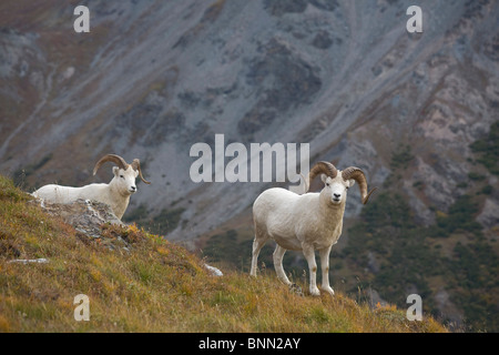 Two Dall Sheep on a ridge with mountain background, Mount Margaret, Denali National Park, Alaska - Stock Photo