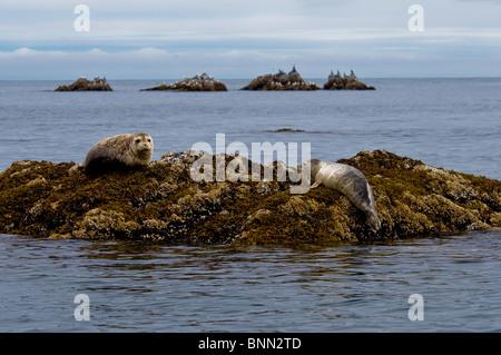 Two Harbor seals rest on a rock off the shore of  Kukak Bay, Katmai National Park, Alaska, Summer - Stock Photo