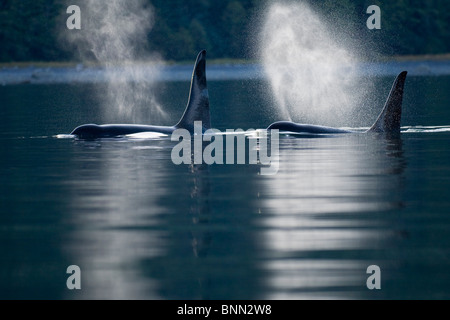 Orca Whales exhale (blows) as they surfaces in Alaska's Inside Passage, Alaska - Stock Photo