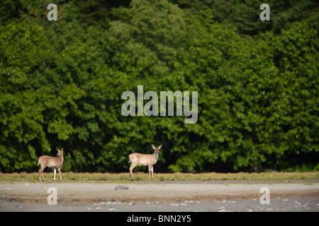 Doe and fawn Sitka Black-tailed deer near alder in Boswell Bay, Hinchinbrook Island, Prince William Sound, Alaska - Stock Photo