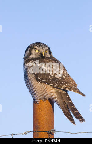 Hawk owl is perched on a fence post near Portage in Alaska during Winter - Stock Photo