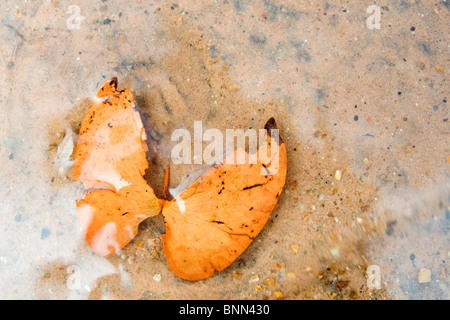 Mopane leaves in water - Stock Photo