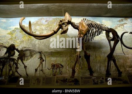 Museum elephant hall Columbian Mammoth University of Nebraska State Museum natural history Museum Lincoln Nebraska - Stock Photo