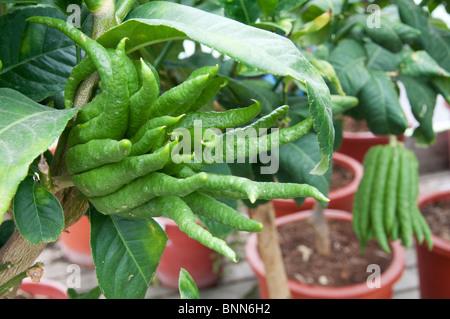 The Buddha's Hand citron (Citrus medica) - Stock Photo
