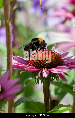 Bumble bee, bombus lucorum, feeding on an echinacea purpurea flower in an english garden - Stock Photo