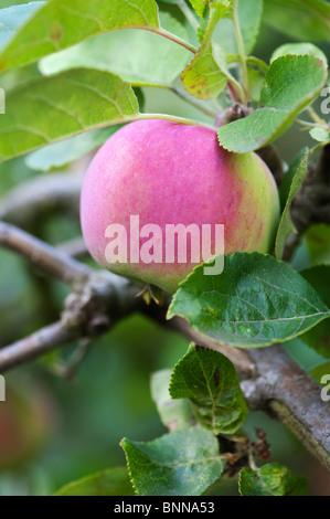Malus domestica. Apple 'Vista Belle' on a tree - Stock Photo