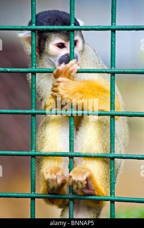 Squirrel monkey at Dublin Zoo. - Stock Photo
