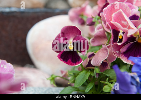 Purple flower in the garden Latin name Viola tricolor - Stock Photo