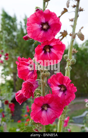 Red hollyhock flowers at the Sabandia Mill near Arequipa, Peru, South America. - Stock Photo