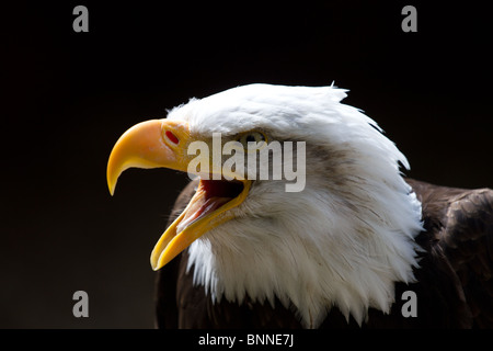 Bald Eagle looking to the left of frame with beak open during a call. On a black background. Copy space above. - Stock Photo