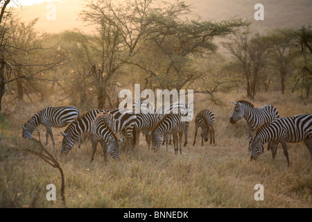 Herd of Zebras feeding on grass, Serengeti NAtional Park, Tanzania - Stock Photo