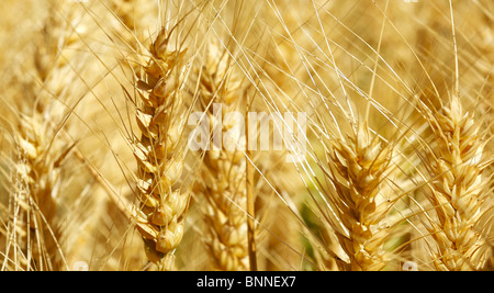 Wheat that is ready to harvest - Stock Photo