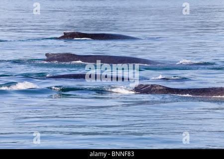 USA; Alaska; Cross Sound; Elfin Cove; Humpback Whales - Stock Photo