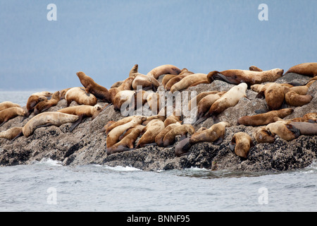 USA; Alaska; Frederick Sound; The Brothers; Steller Sea Lions - Stock Photo