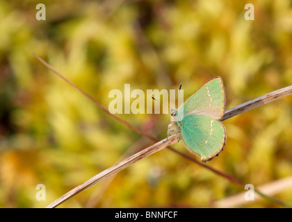Green Hairstreak butterfly - Callophrys rubi - Stock Photo