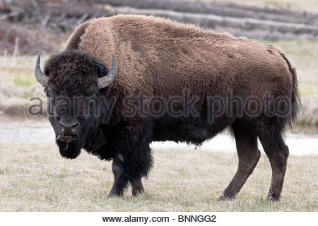 Bison Grazing Along Madison River, Yellowstone National Park, Wyoming - Stock Photo