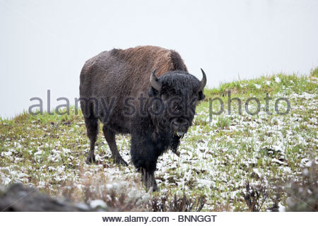 Bison Along Madison River After Snow Storm, Yellowstone National Park, Wyoming - Stock Photo