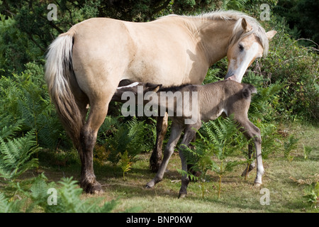 Wild pony mother nursing foal in the New Forest, Hampshire, England. - Stock Photo