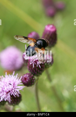 Pellucid Hoverfly, Volucella pellucens, Syrphidae, Diptera, Male, UK. Aka White Belted Plume Horn Hover-fly. - Stock Photo