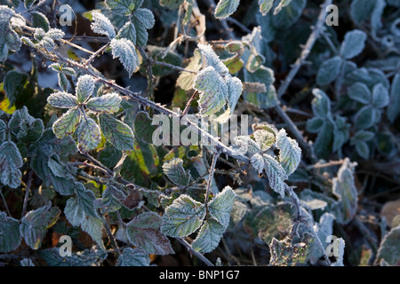blackberry leaves covered in frost - Stock Photo