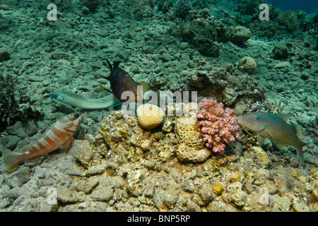 Let the party begin! Peppered moray, Coral Grouper, Goldsaddle goatfish and Blacktip Grouper - Stock Photo