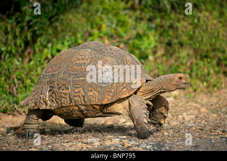 Mountain or leopard tortoise (Geochelone pardalis), South Africa - Stock Photo