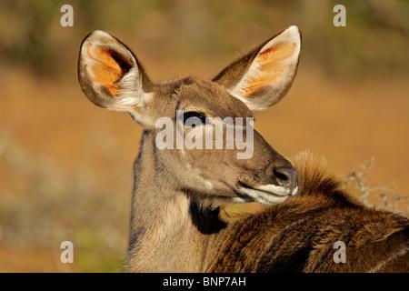 A female kudu antelope, (Tragelaphus strepsiceros), South Africa - Stock Photo