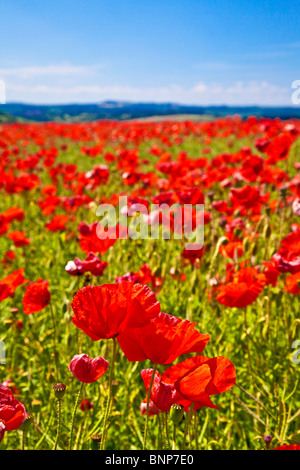 Common red poppies, Papaver rhoeas, in a field in Wiltshire, England, UK - Stock Photo