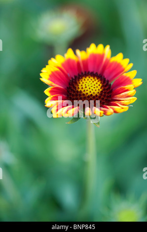 Gaillardia aristata 'Arizona Sun' . Blanket Flower - Stock Photo