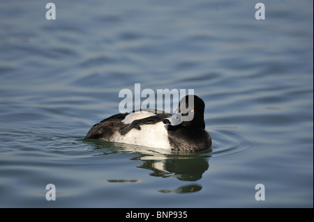 Male Tufted duck (Aythya fuligula) swimming on Lake Geneva in winter - Switzerland - Stock Photo