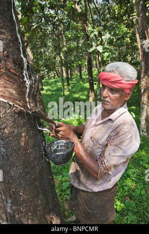 Rubber tapping is the process by which rubber is gathered - Stock Photo