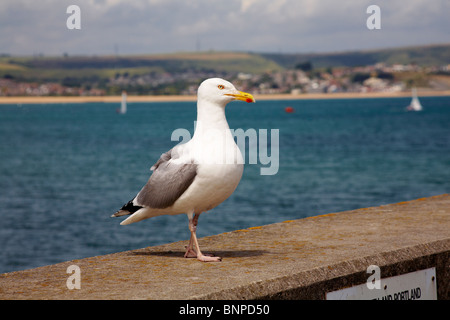 Seagull standing on wall at Weymouth - Stock Photo