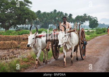 Zebu,( Bos primigenius indicus) or (Bos indicus), are a type of domestic cattle that are highly adapted to high - Stock Photo