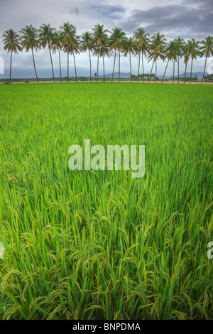 Rice field with coconuts in background. Theni Tamil Nadu, southern India - Stock Photo