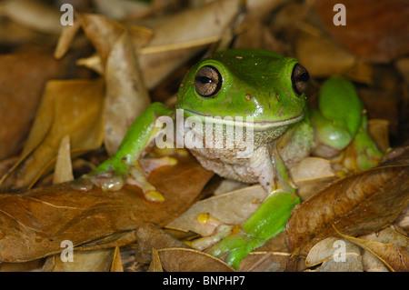 A Green Treefrog (Litoria caerulea) grinning in leaf litter in Batchelor, Northern Territory, Australia. - Stock Photo