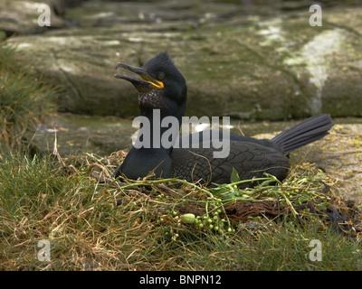 Shag on nest - Stock Photo