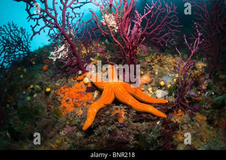 Red Starfish in Coral Reef, Echinaster sepositus, Cap de Creus, Costa Brava, Spain - Stock Photo