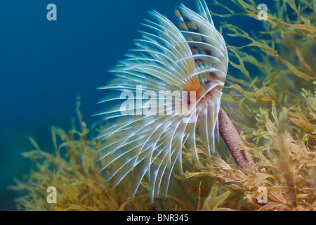 Spiral Tube Worm, Spirographis spallanzani, Cap de Creus, Costa Brava, Spain - Stock Photo